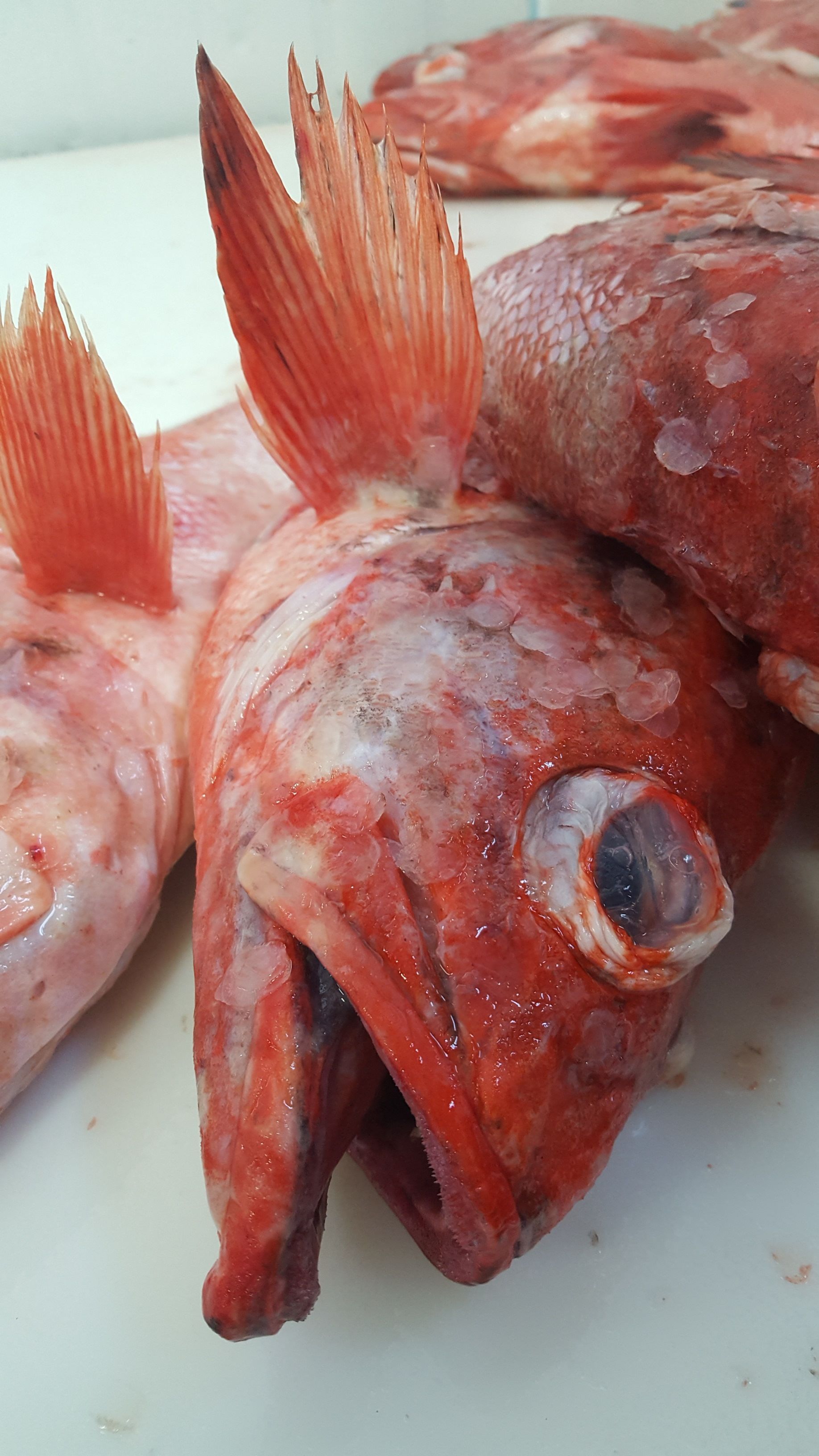500 pounds of red rockfish