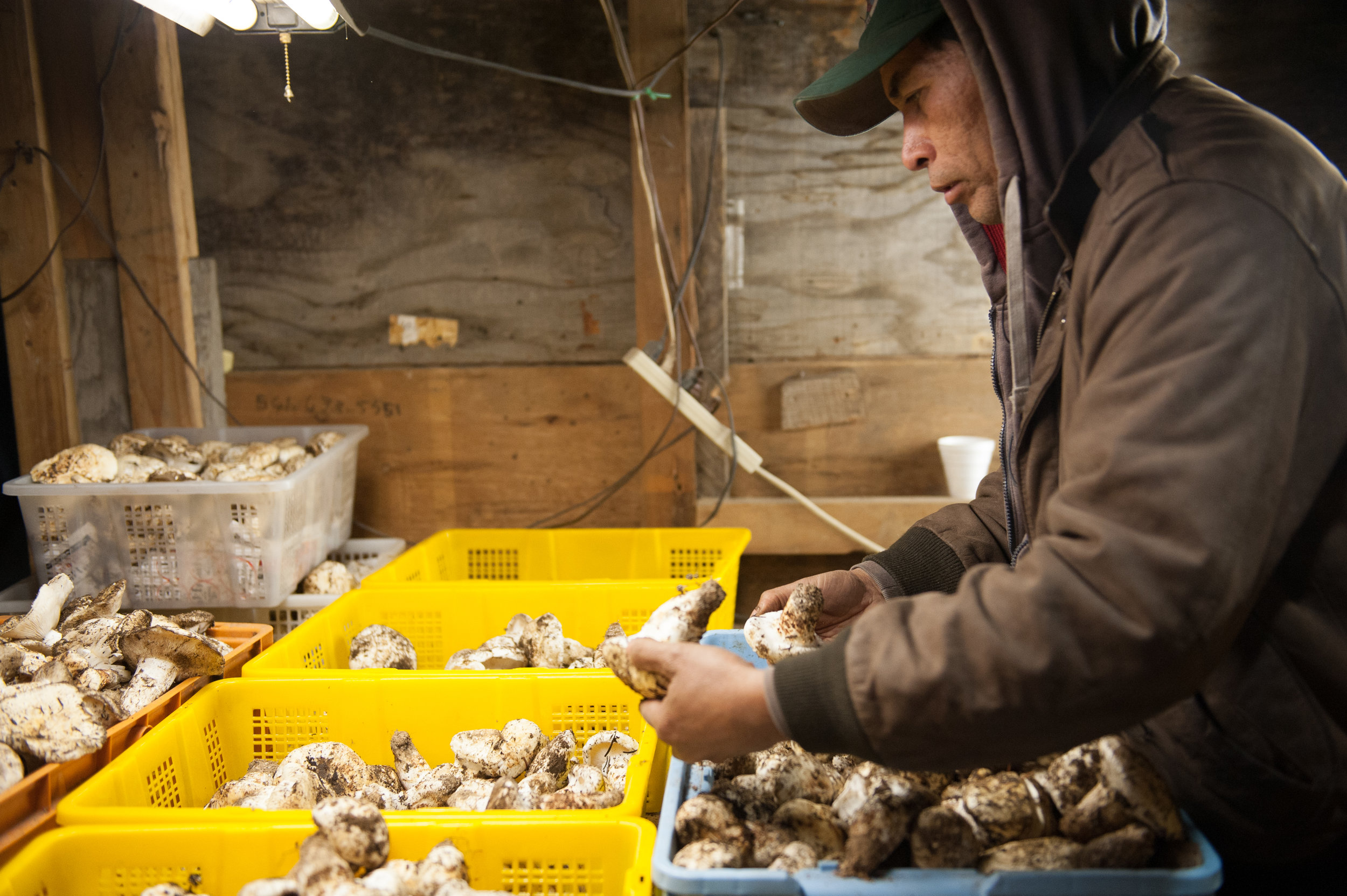 scenes from our matsutake buying station