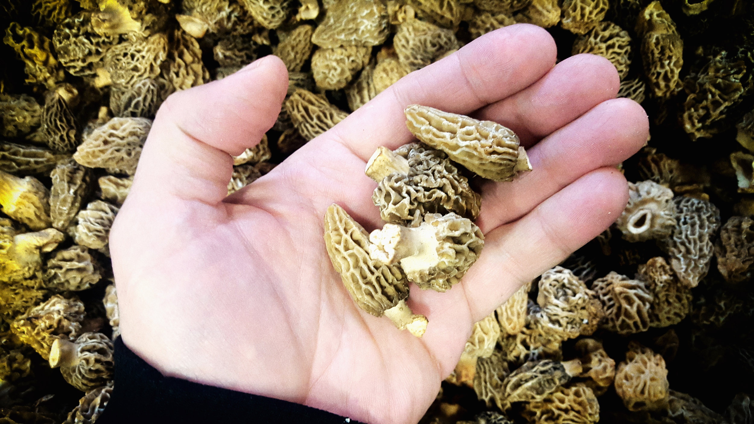 Beautiful orchard morels... price dropped