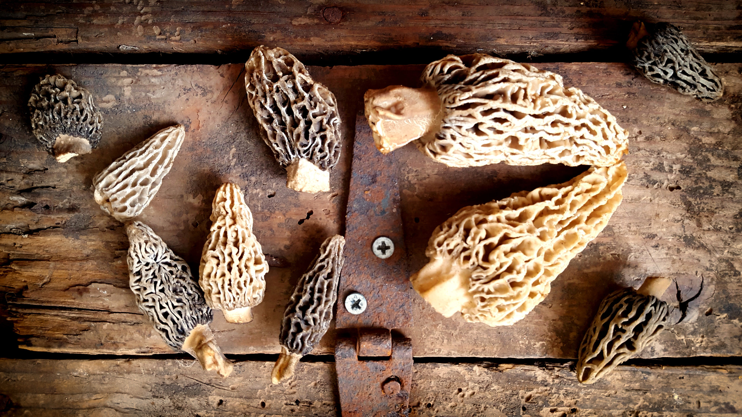 Hard to believe, but Orchard Morel season has begun – almost 6 weeks early this year.