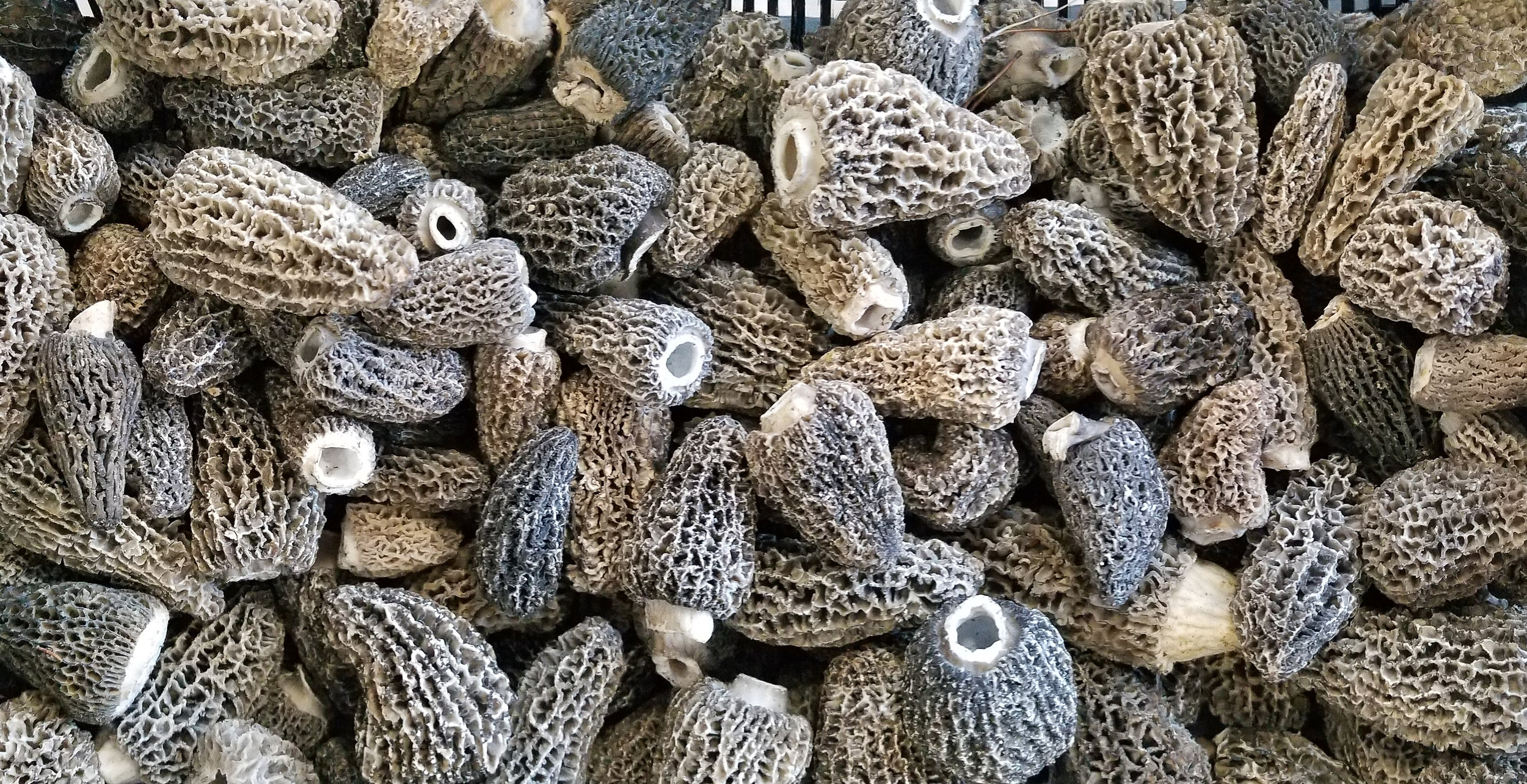Late July Grey Morels