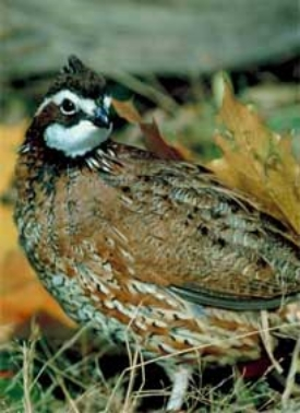 Bobwhite quail populations in South Carolina have been in decline since the 1980s. A new initiative involving incentives for private landowners to create more quail-friendly habitat aims to change that.