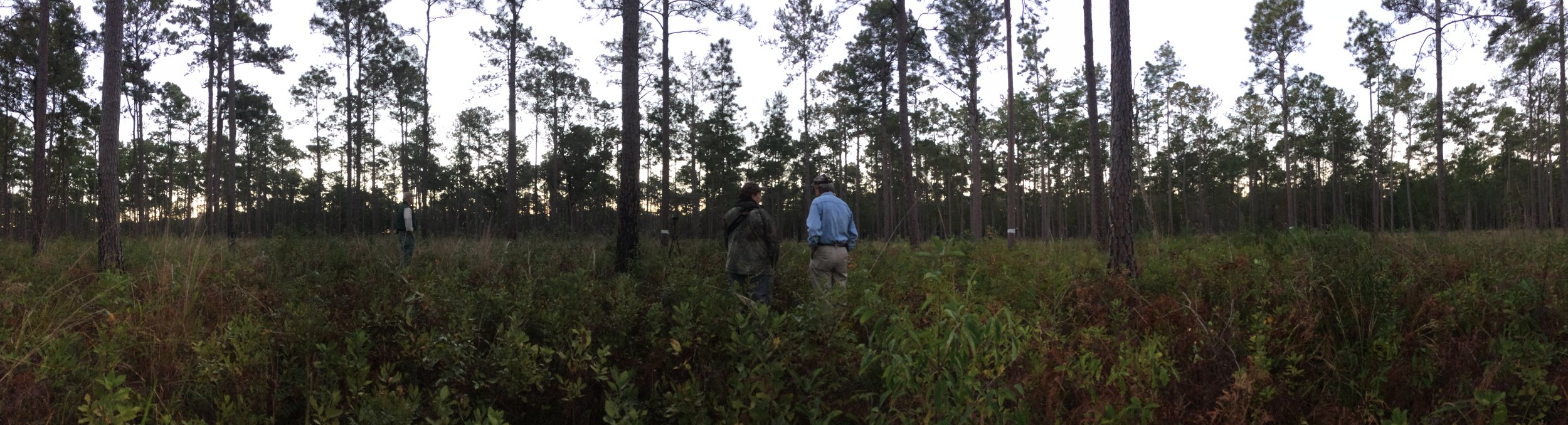 The widely spaced longleaf pines and fire-controlled understory on this section of Donnelley WMA is ideal habitat for RCWs. That's no accident, SCDNR staff spent years carefully preparing this area for the reintroduction of these once-common,birds, now on the endangered species list.