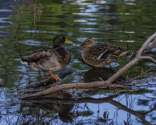 Mallard ducks near Mount Pleasant.(photo: SCW magazine -Harry Hampton Photo Contest photo by Sandy Bostick)