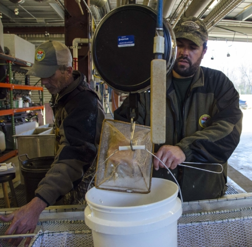 Hatchery Manager Lane Hite and Assistant Manager Brian Boyleston use scales to get an accurate weight count on a bucket of fingerlings.