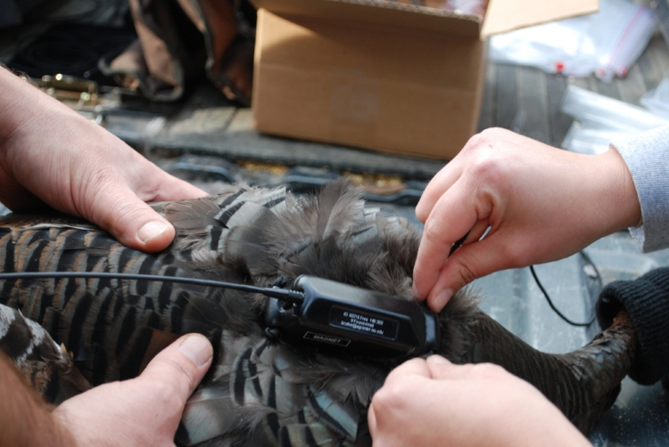 Tiny battery-powered transmitters that can collect regular GPS data on a turkey's movements and then transmit that data back to a computer-receiver for collection have revolutionized research into wild turkeys -- and other species. ( SCDNR photo )