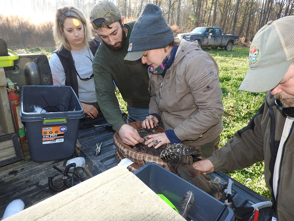 """Full-time staff at the Webb Center assist researchers Patrick Wightman and Alaina Gerrits (center) with the task of placing a """"backpack"""" transmitter of a captured Eastern wild turkey. ( photo courtesy Alaina Gerrits )"""