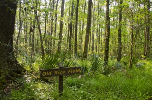 Dwarf Palmettos and a field of hardwoods have overtaken this wetland depression where rice once was grown.