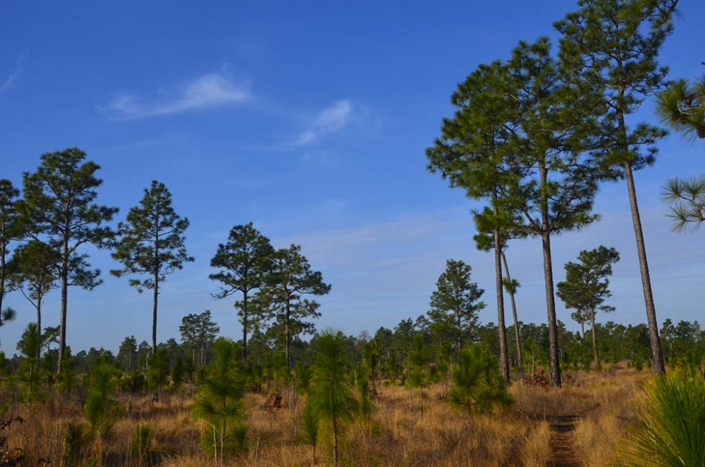 SCDNR land managers are restoring the Longleaf pine-wiregrass ecosystem at Aiken Gopher Tortoise Heritage Preseve, a plan that will benefit the property's tortoises and many other grassland-adapted species.