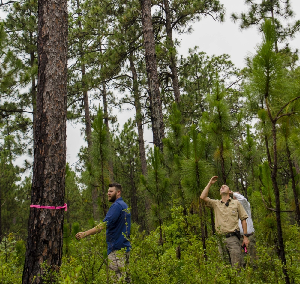 Wildlife biologist Mark Pavlosky (left), Hitchcock Woods Superintendent Bennett Tucker and Hitchcock Woods Foundation board member Randy Wolcott mark a tree where a red-cockaded woodpecker recently translocated to the property has begun excavating a cavity.