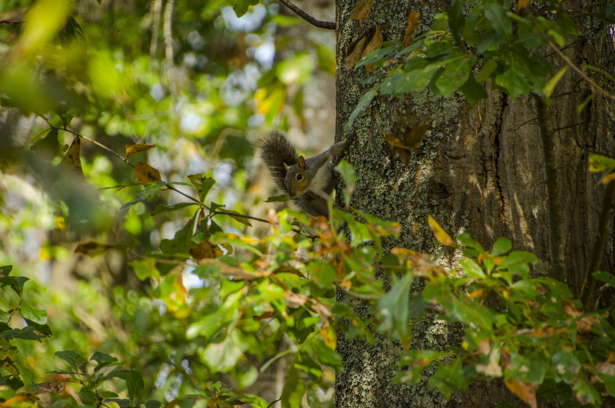 There were lots of squirrels on the trail.(SCDNR photo by David Lucas)