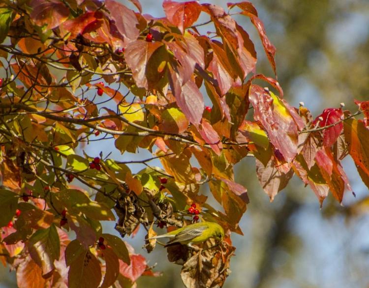 Gorging on dogwood berries.(SCDNR photo by David Lucas)