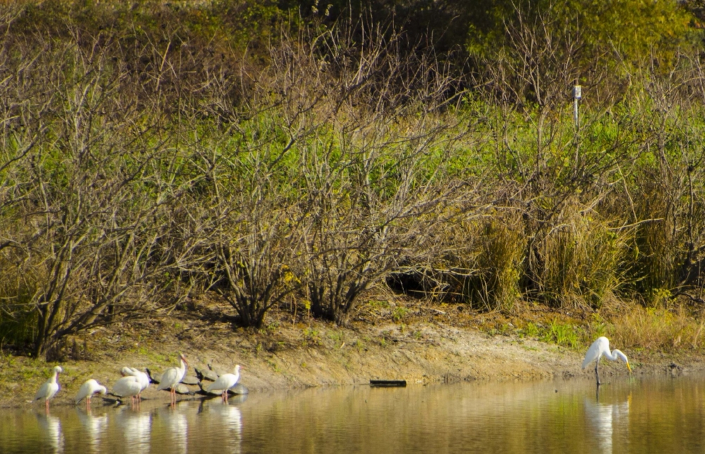 A group of white Ibis and an egret share space along the edge of one of the Audubon Center ponds with some turtles.