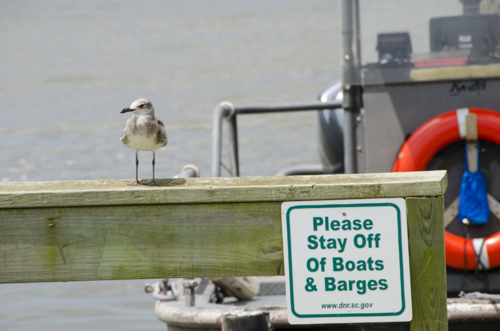 Gulls, like this one hanging out on the dock at the SCDNR's Santee Coastal Reserve WMA, are of course ubiquitous along the South Carolina coast, but there's a WHOLE LOT more to learn about the wide variety of seabird and shorebird species that visit our coast. (Photo by David Lucas)