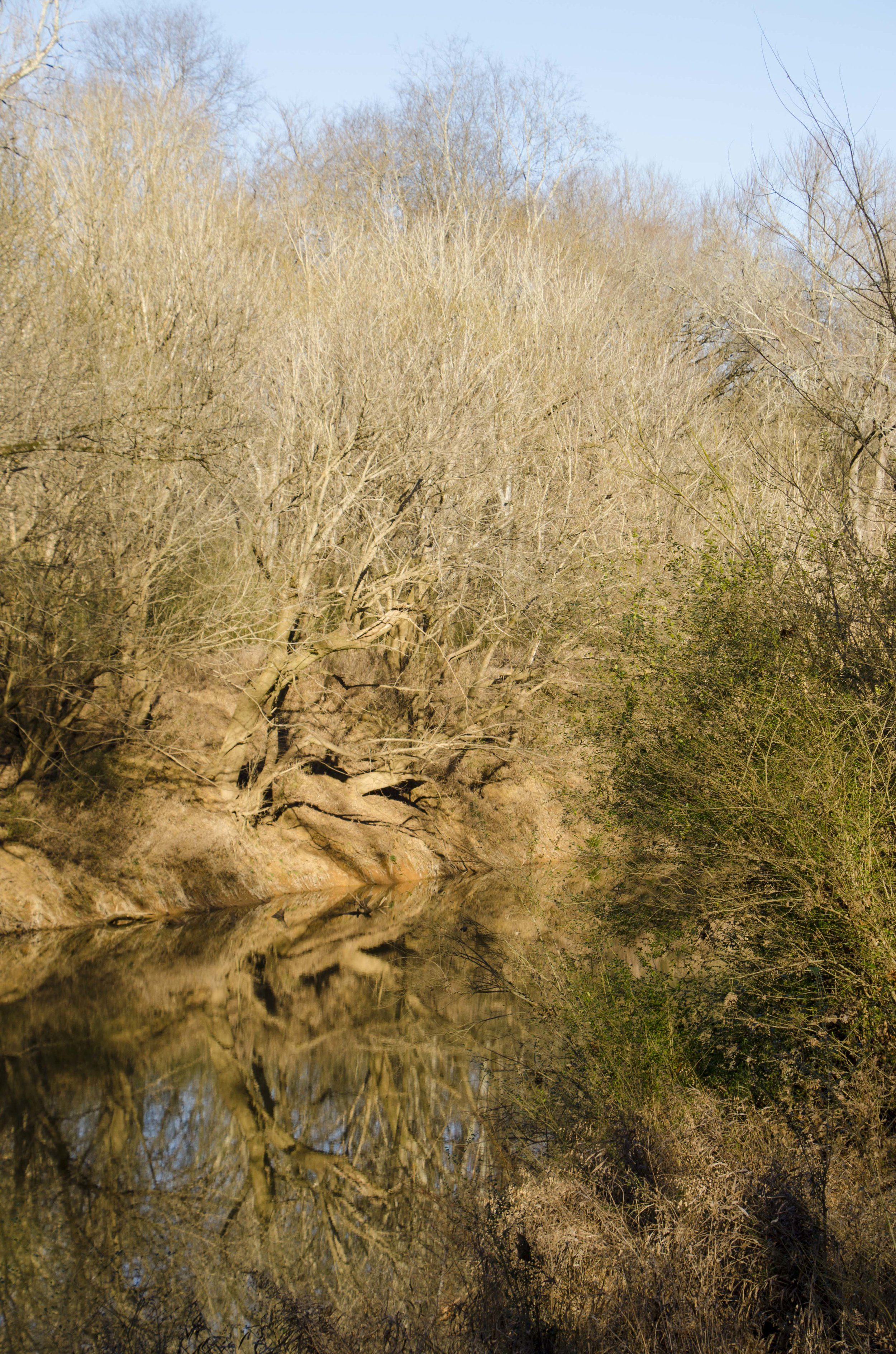 On the banks of the Creek, this odd reflection in the water put me in mind of two alligators sliding down the bank. (SCDNR photo by D. Lucas)