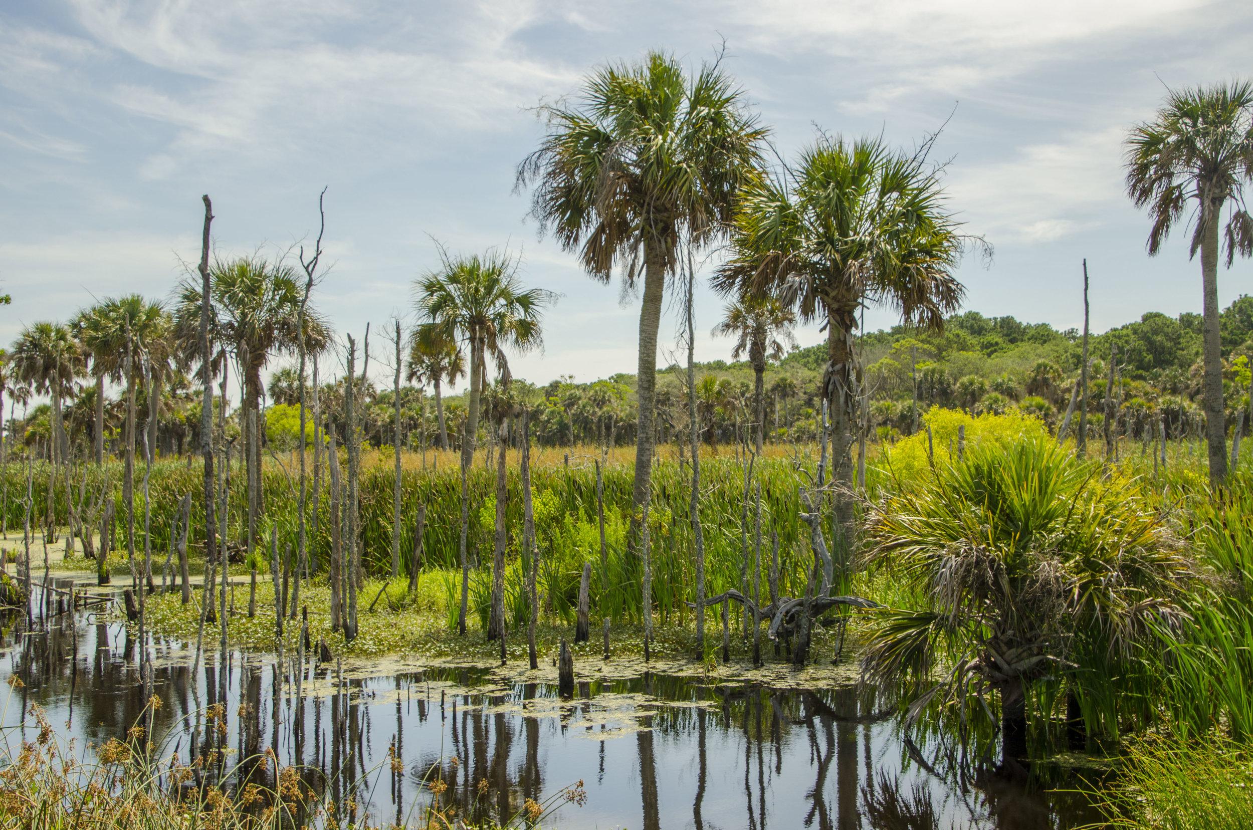 "Palmetto trees in the wetlands along the ""Turkey Walk"" trail."