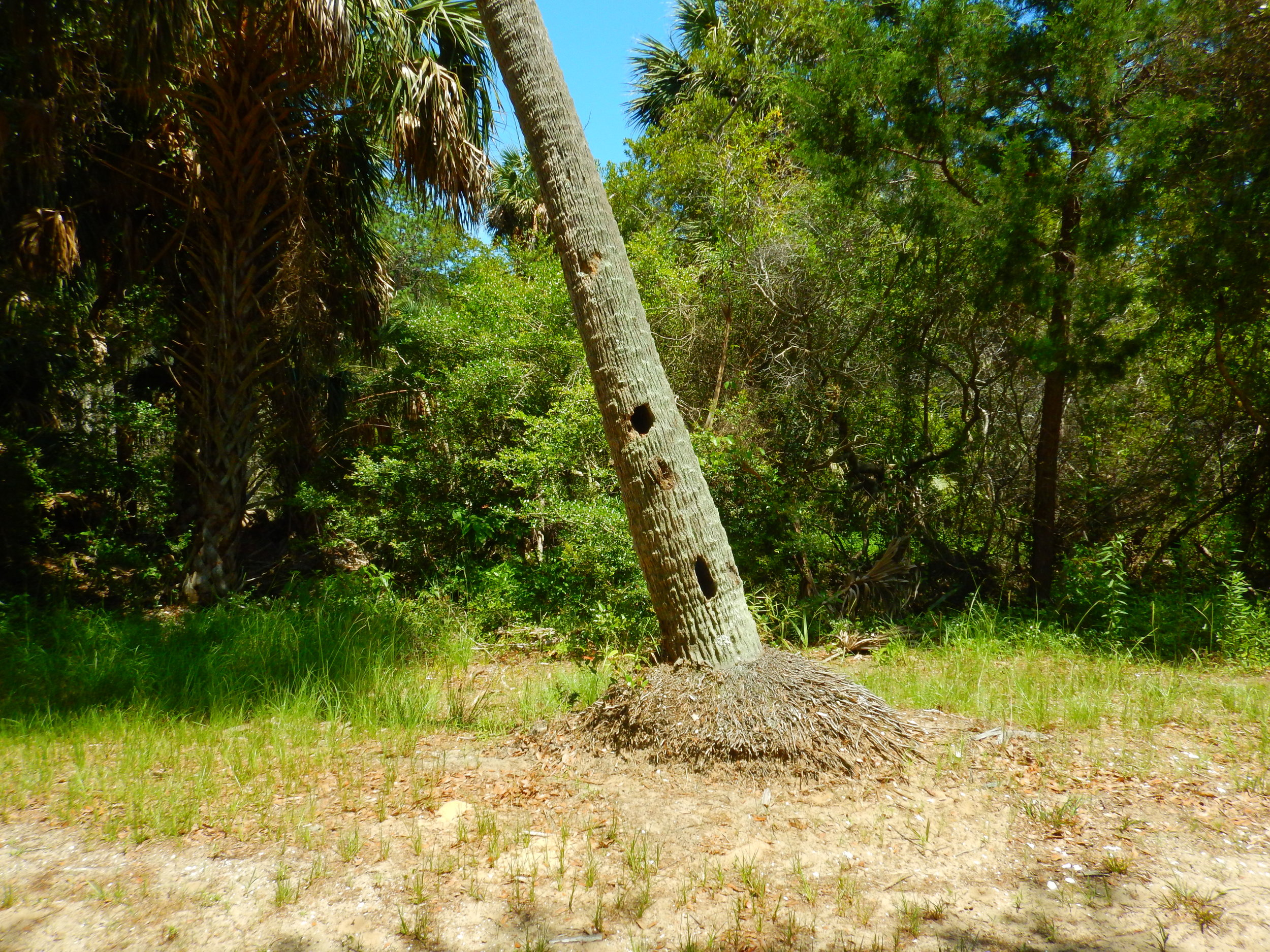 Woodpeckers or other cavity nesters appear to have been at work on this palmetto snag.