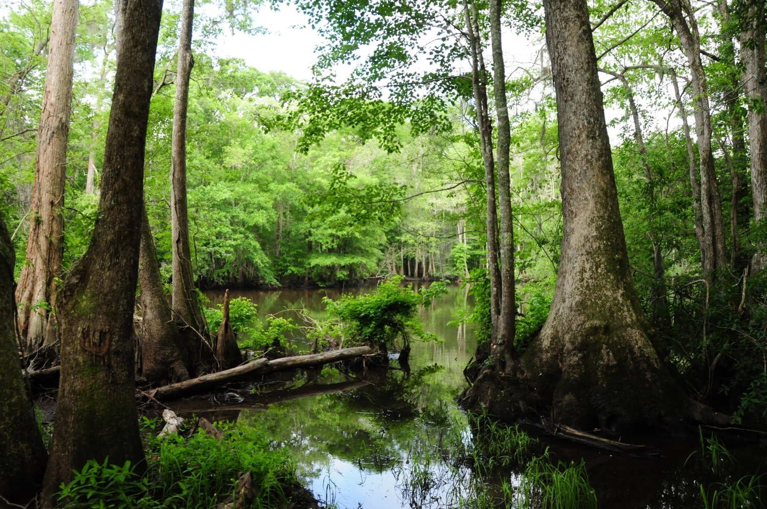 """Lynches River in the Pee Dee region of South Carolina was designated a """"State Scenic River"""" in two sections in 1994 and in 2008 (lower section). [photo by Stewart Grinton]"""