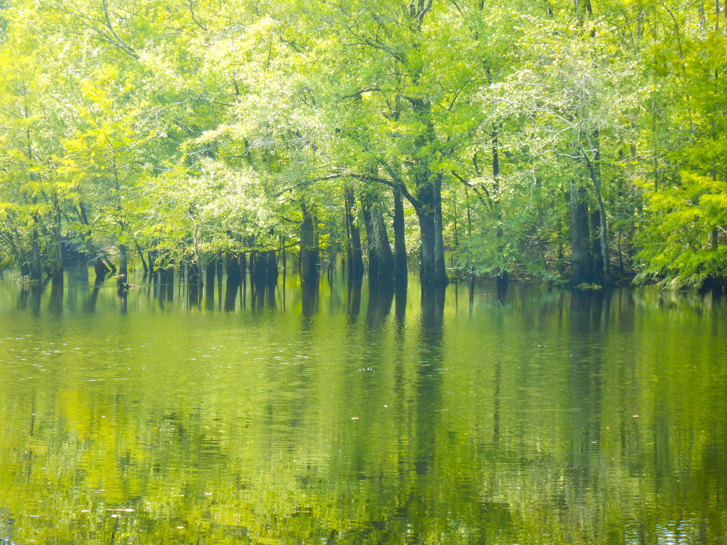 Flooded cypress Trees at Wortham's Ferry Landing.