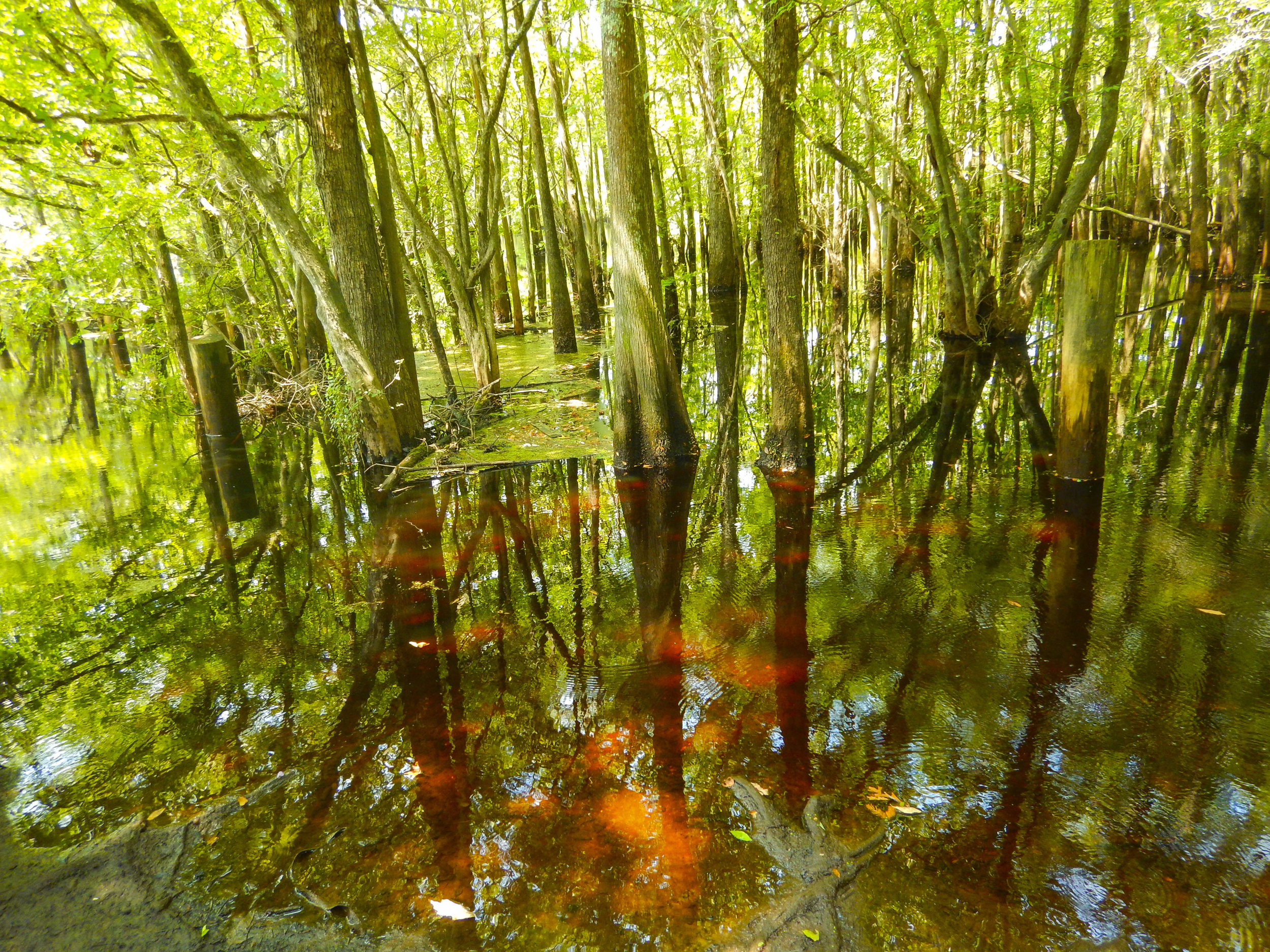 """Ever hear the phrase """"tea-colored"""" used to describe a blackwater river like the Waccamaw?"""