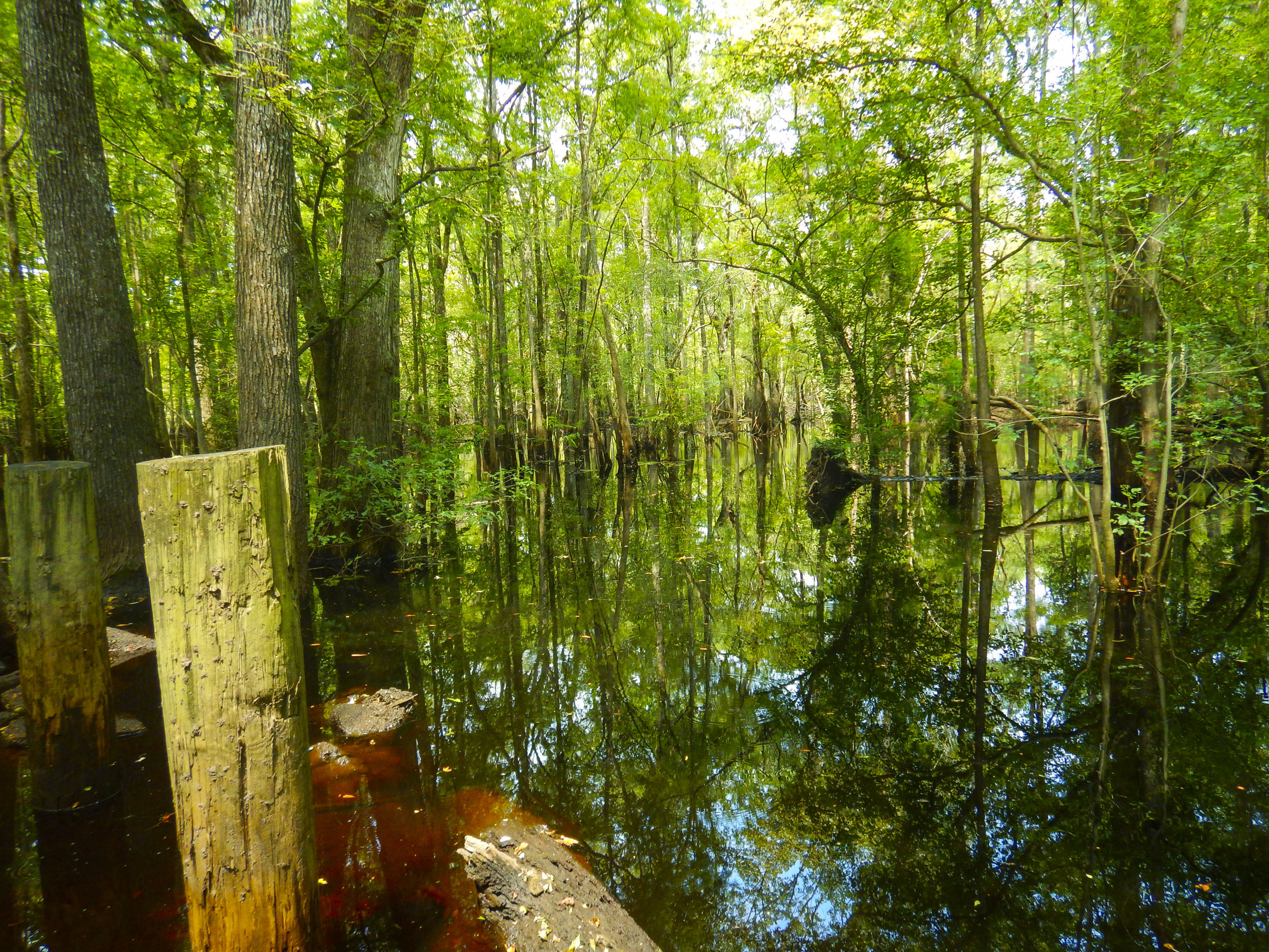 Pilings and flooded cypress trees at Wortham's Ferry.