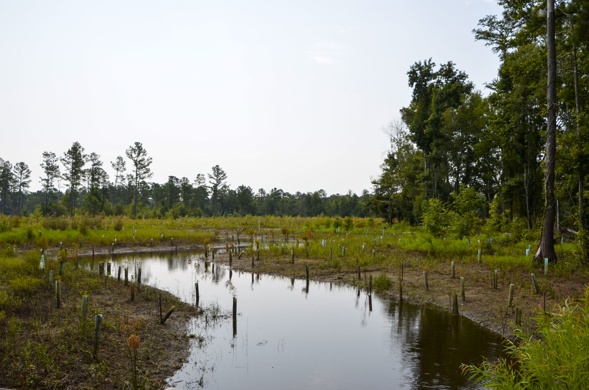 Cypress trees planted along the streambed at the Carter Stilly mitigation ban area at WRHP & WMA.
