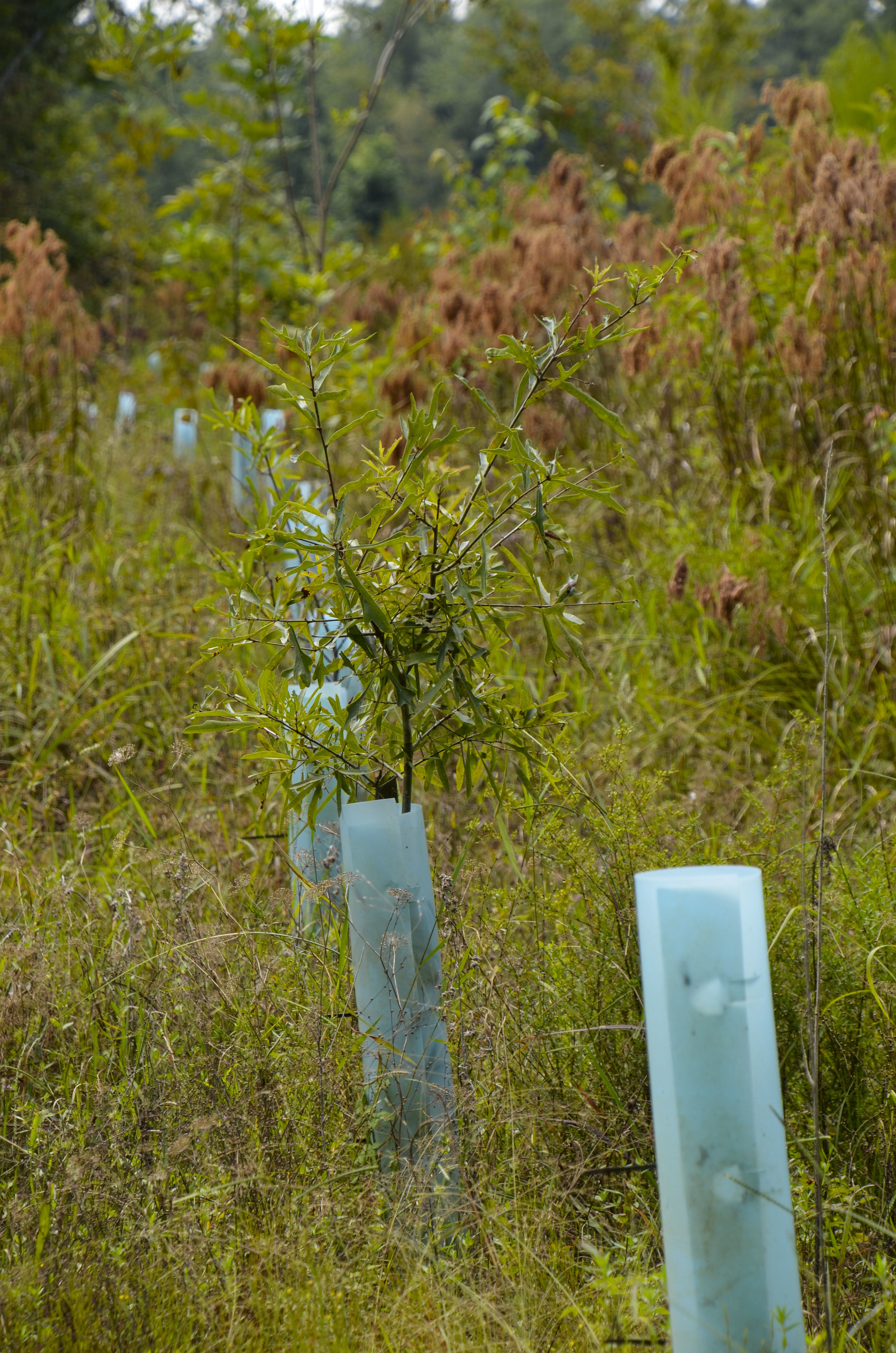 Hardwood trees planted at the Carter Stilley mitigation bank area.