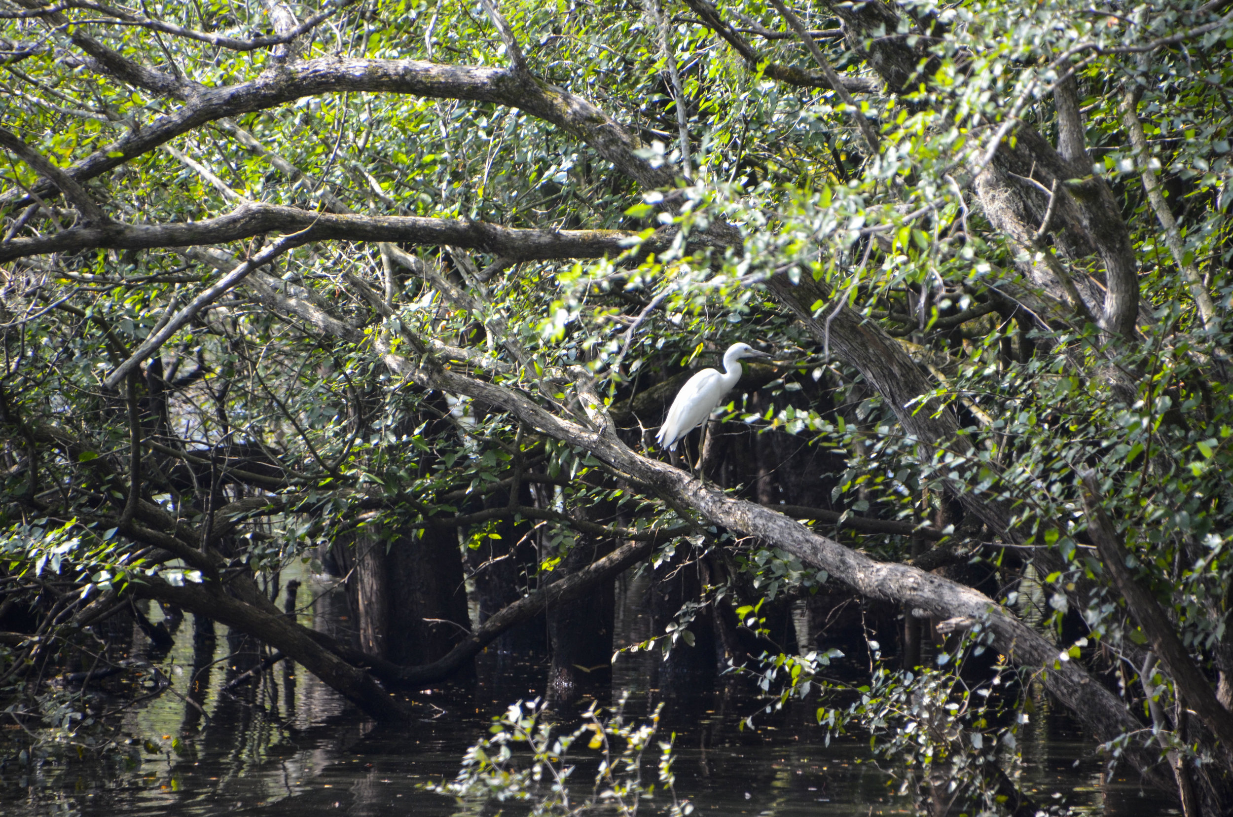 This egret and another on visited the landing while I was there.