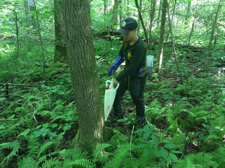Team member Jackie Failla treats the base of a hemlock tree surrounded by shade loving ferns. [Below] a blue mark is used to keep track of the trees that have been successfully treated.