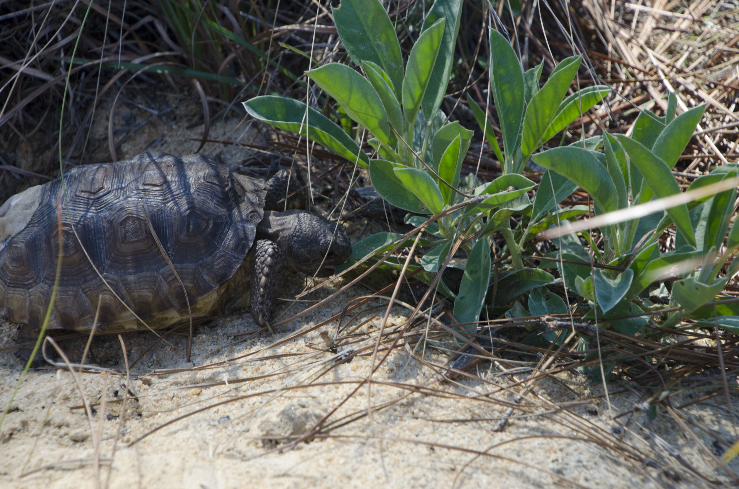 A released tortoise gives one of the many forage plants available in its new landscape a try.