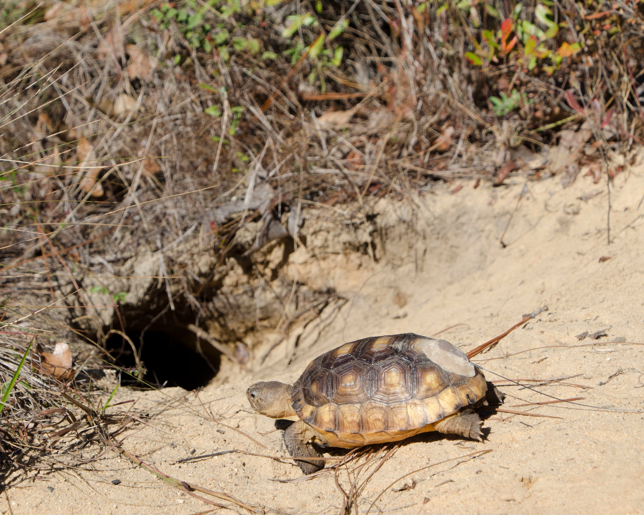 Radio transmitters on some of the released tortoises will enable researchers to collect detailed data about their movements, information that is rewriting the playbook for how tortoise reintroduction projects are done.