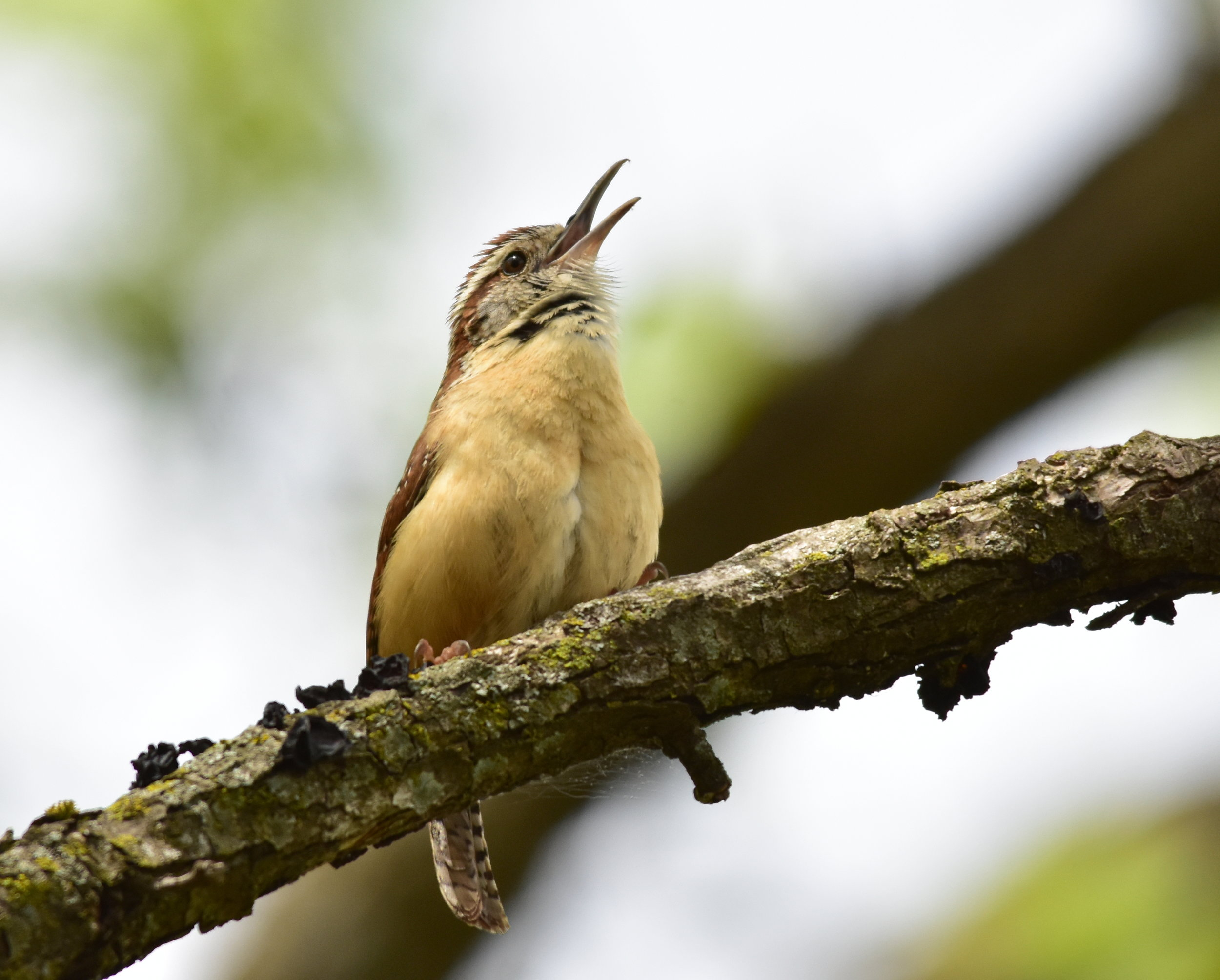 A Carolina wren makes its call in a shrubby, wooded residential area. ( USFWS photo by Tom Koemer)