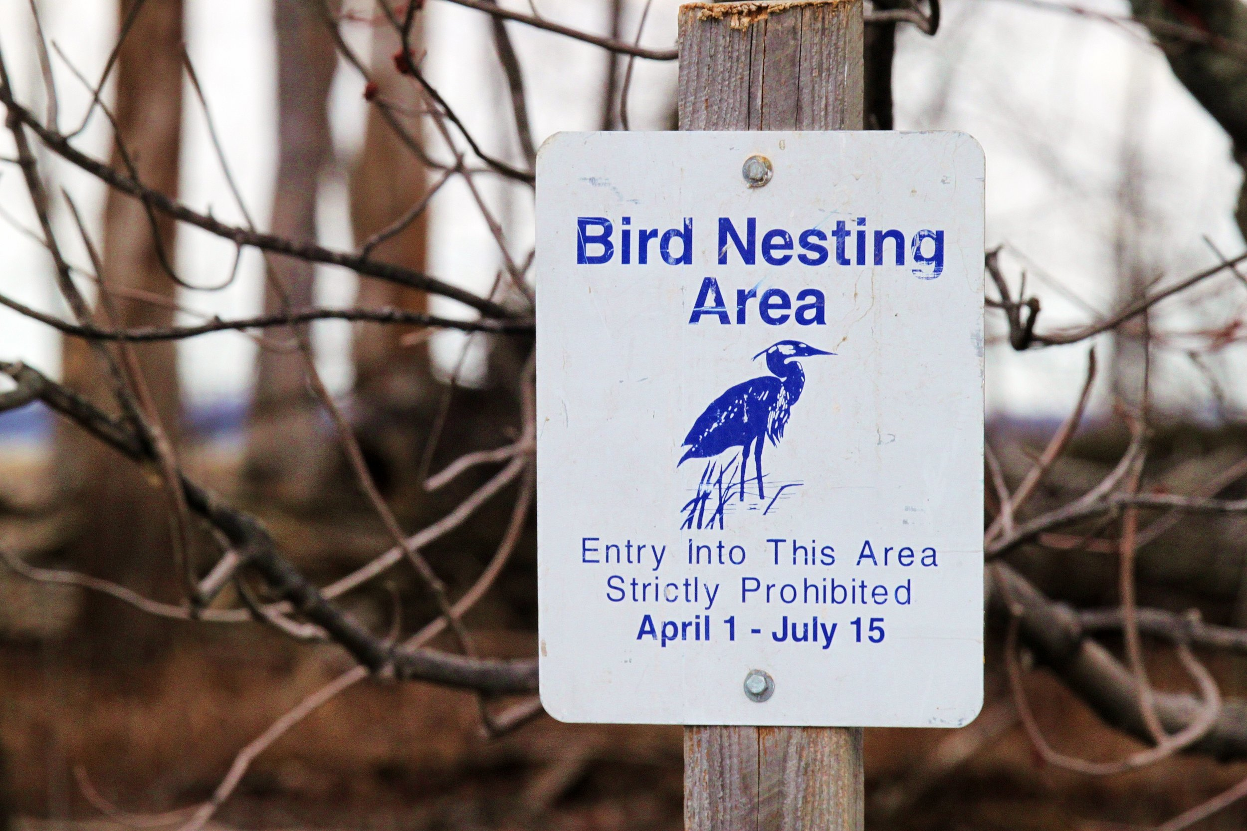Great blue herons nesting area in the spring at Missisquoi National Wildlife Refuge (USFWS photo)
