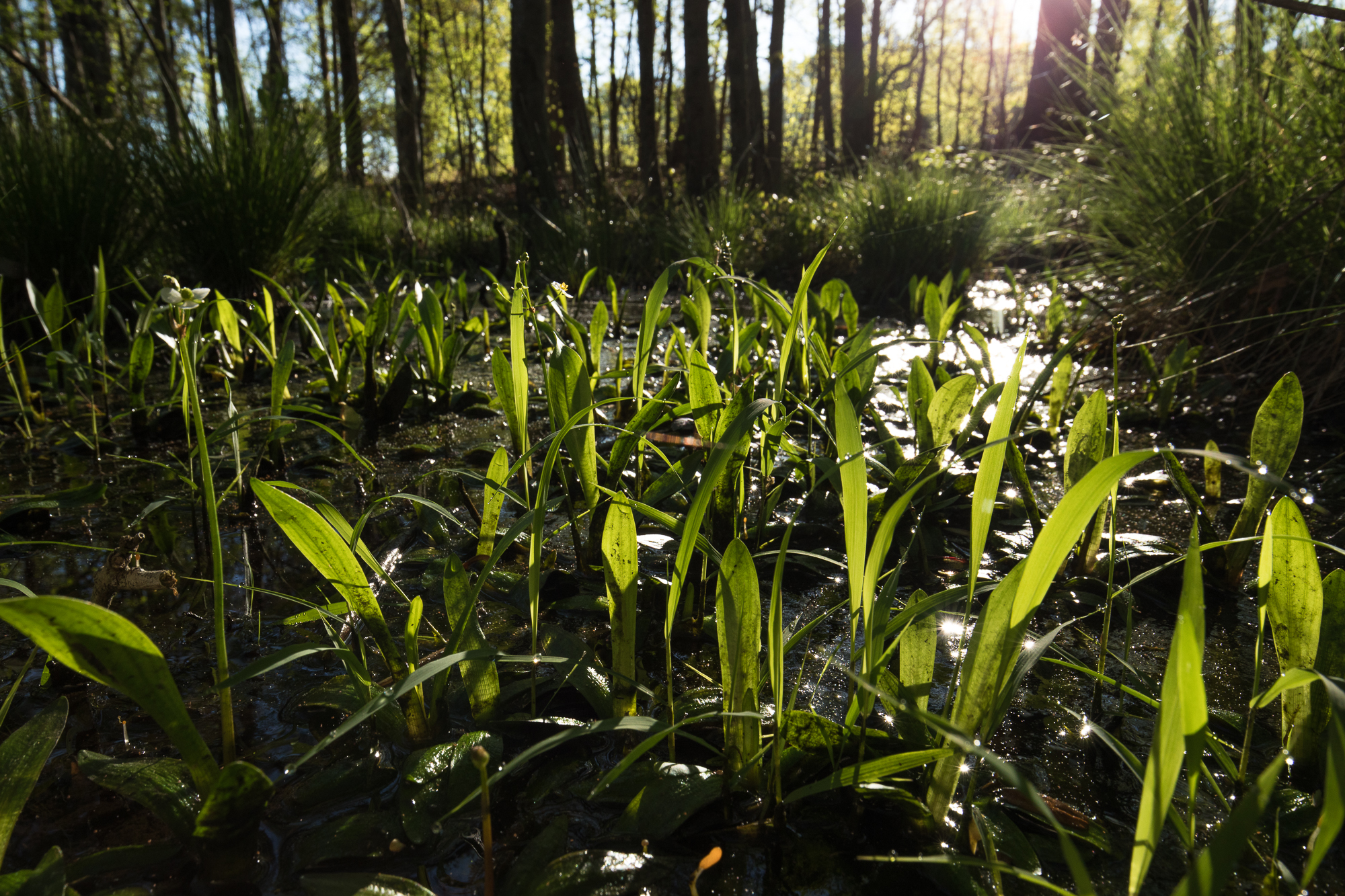"""Bunched arrowhead requires a particular habitat known as """"Piedmont seepage forest"""" that is very susceptible to damage or degradation from runoff that occurs when nearby areas are paved or disturbed. ( photo courtesy Mac Stone, Naturaland Trust )"""