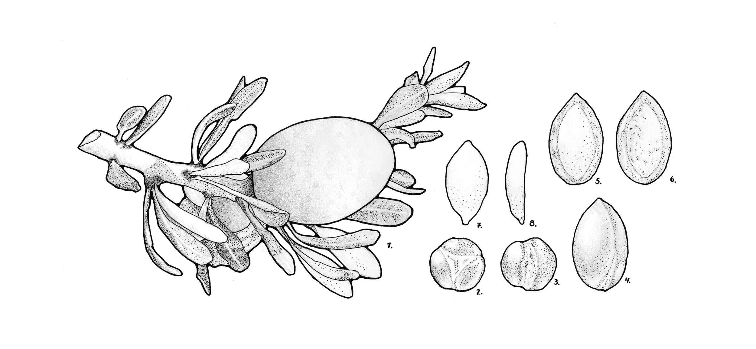 Argania spinosa (Argan)