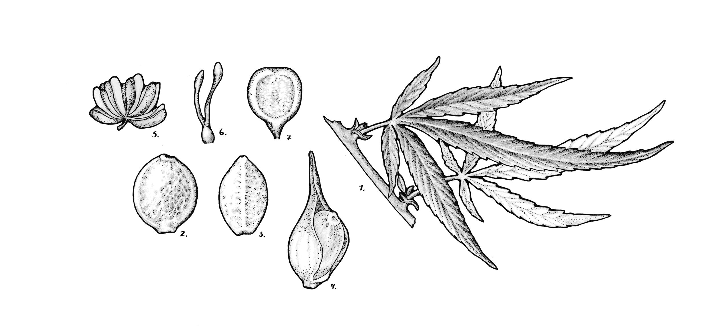 Cannabis sativa (hemp)