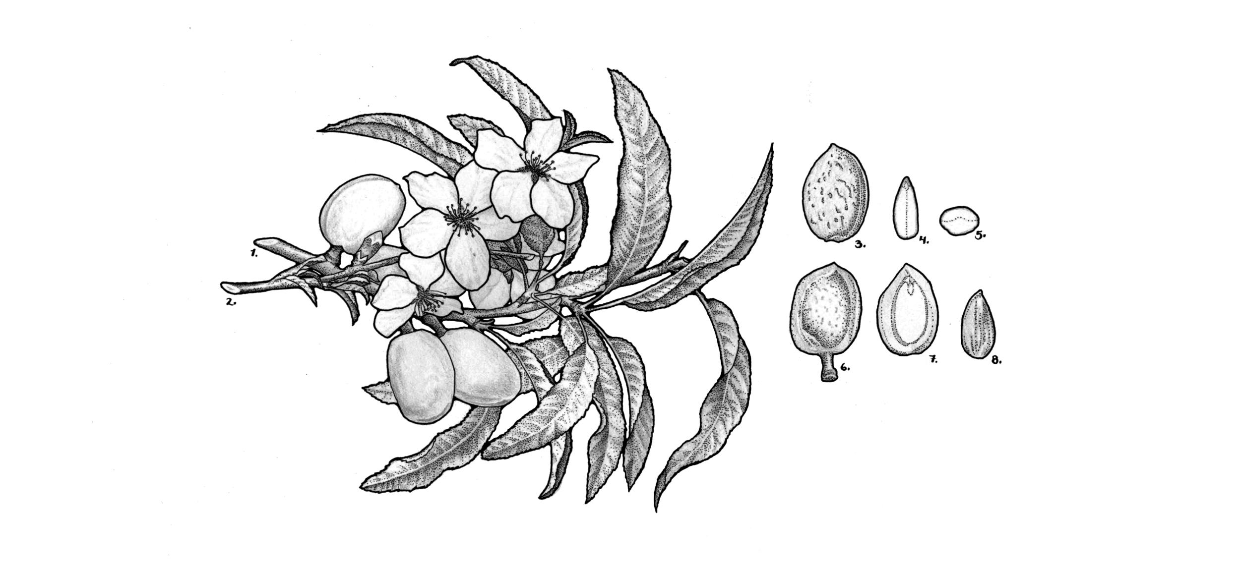 Prunus dulcis (sweet almond)