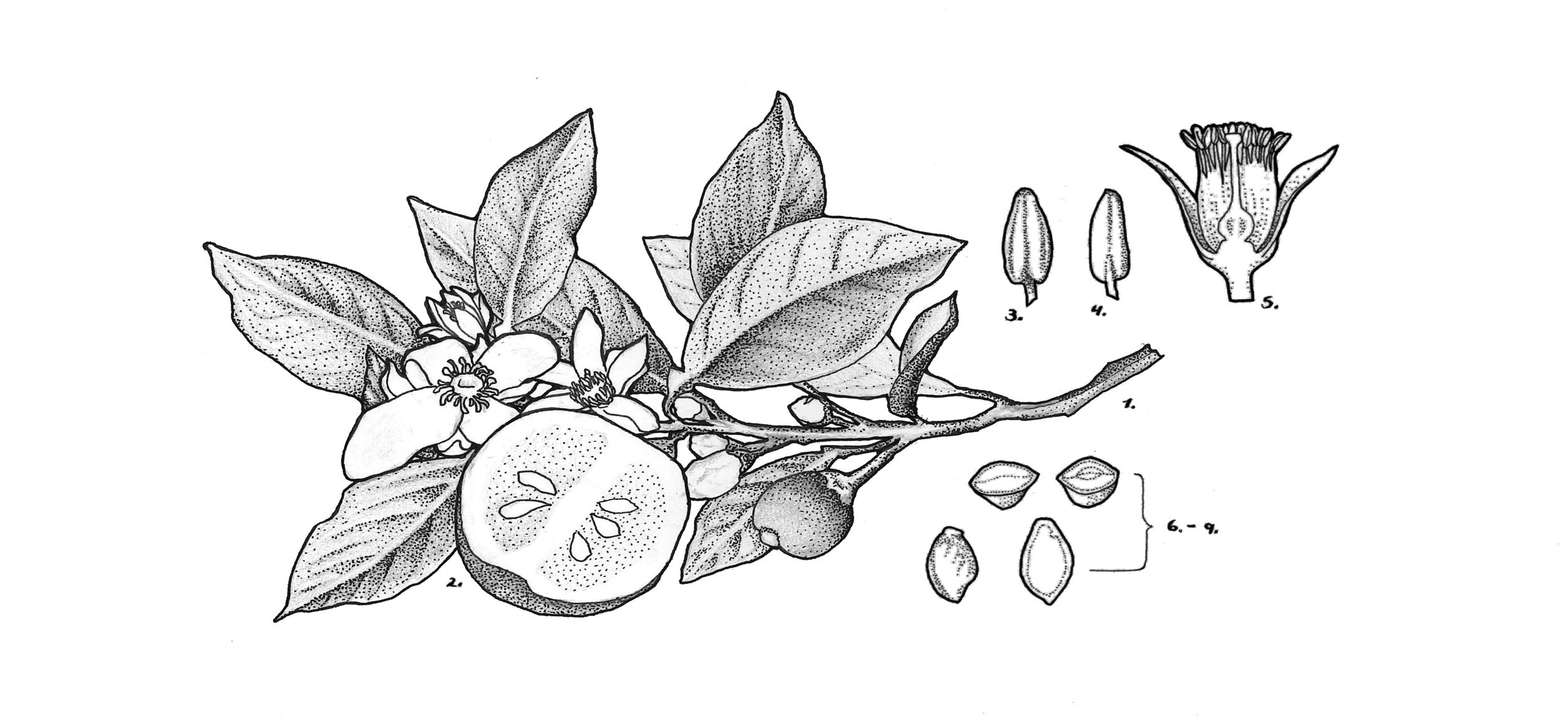 Citrus aurantium (orange blossom)