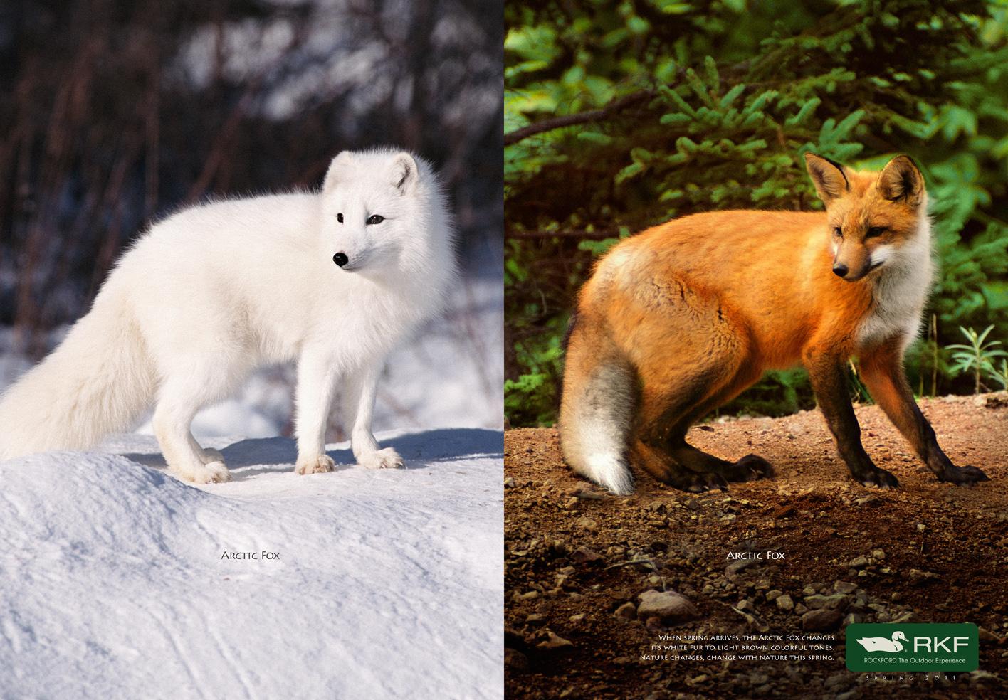 arctic_fox_eng.jpg