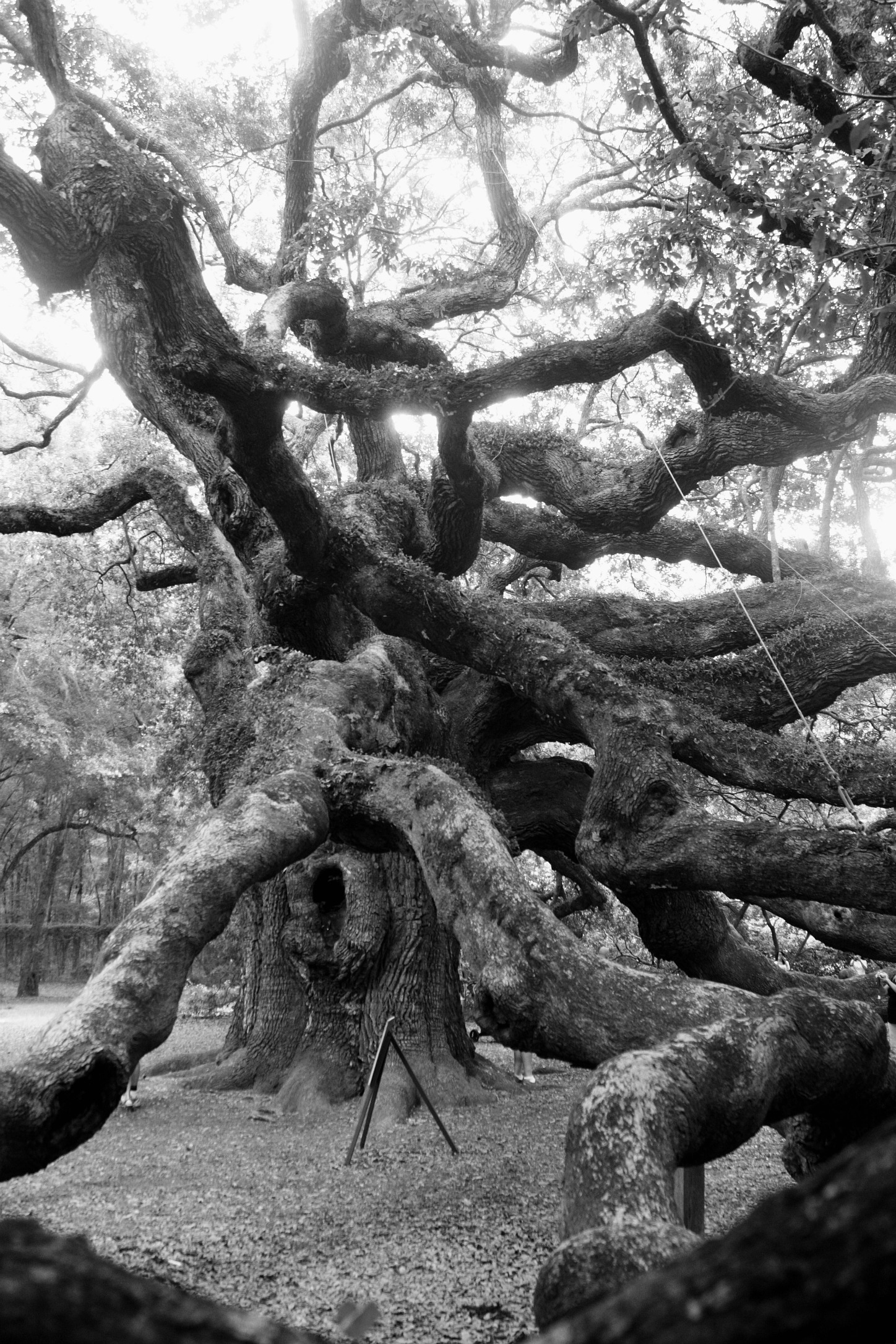 Angel Oak, Johns Island, SC