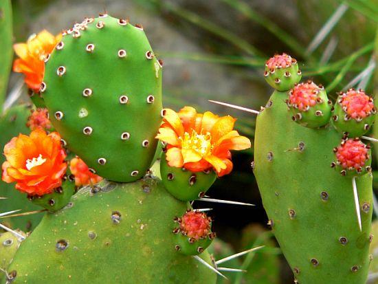 Opuntia engelmannii - prickly pear cactus
