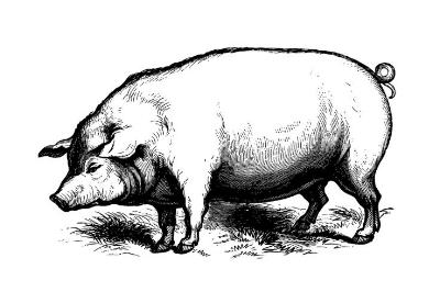 Pig illus.jpeg