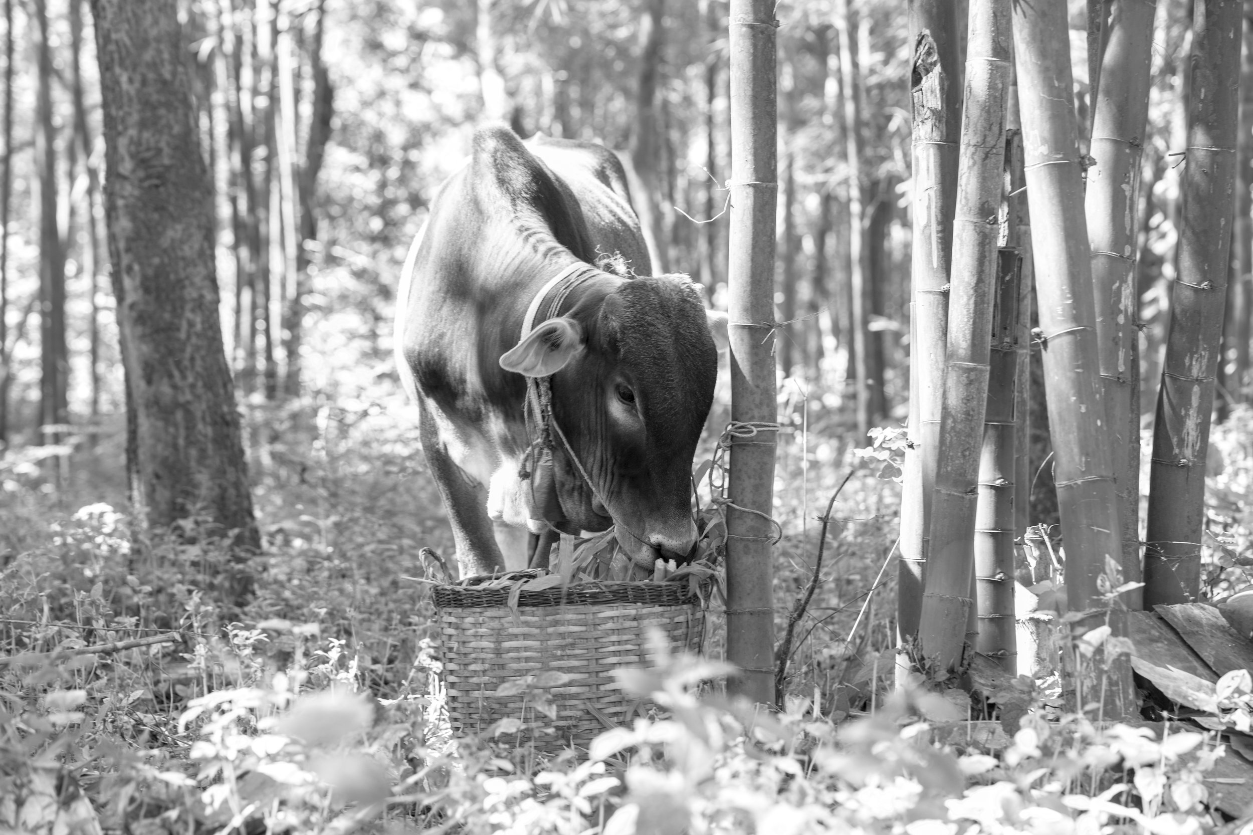 Cow and Bamboo_Myanmar_-1.jpg