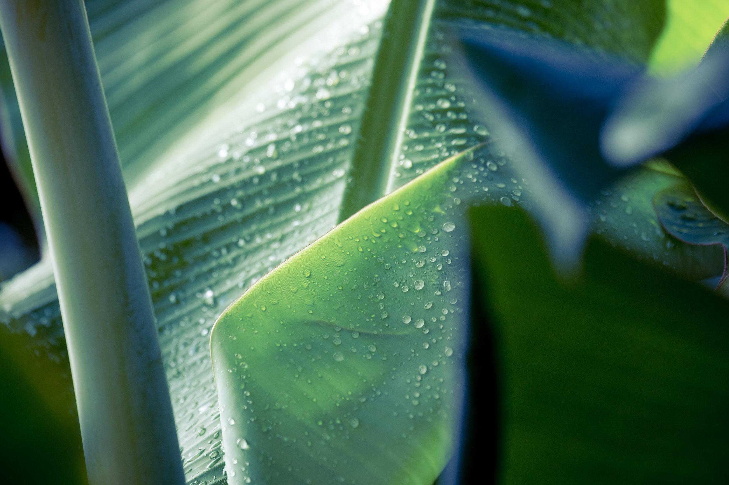 Banana Leaf-1.jpg