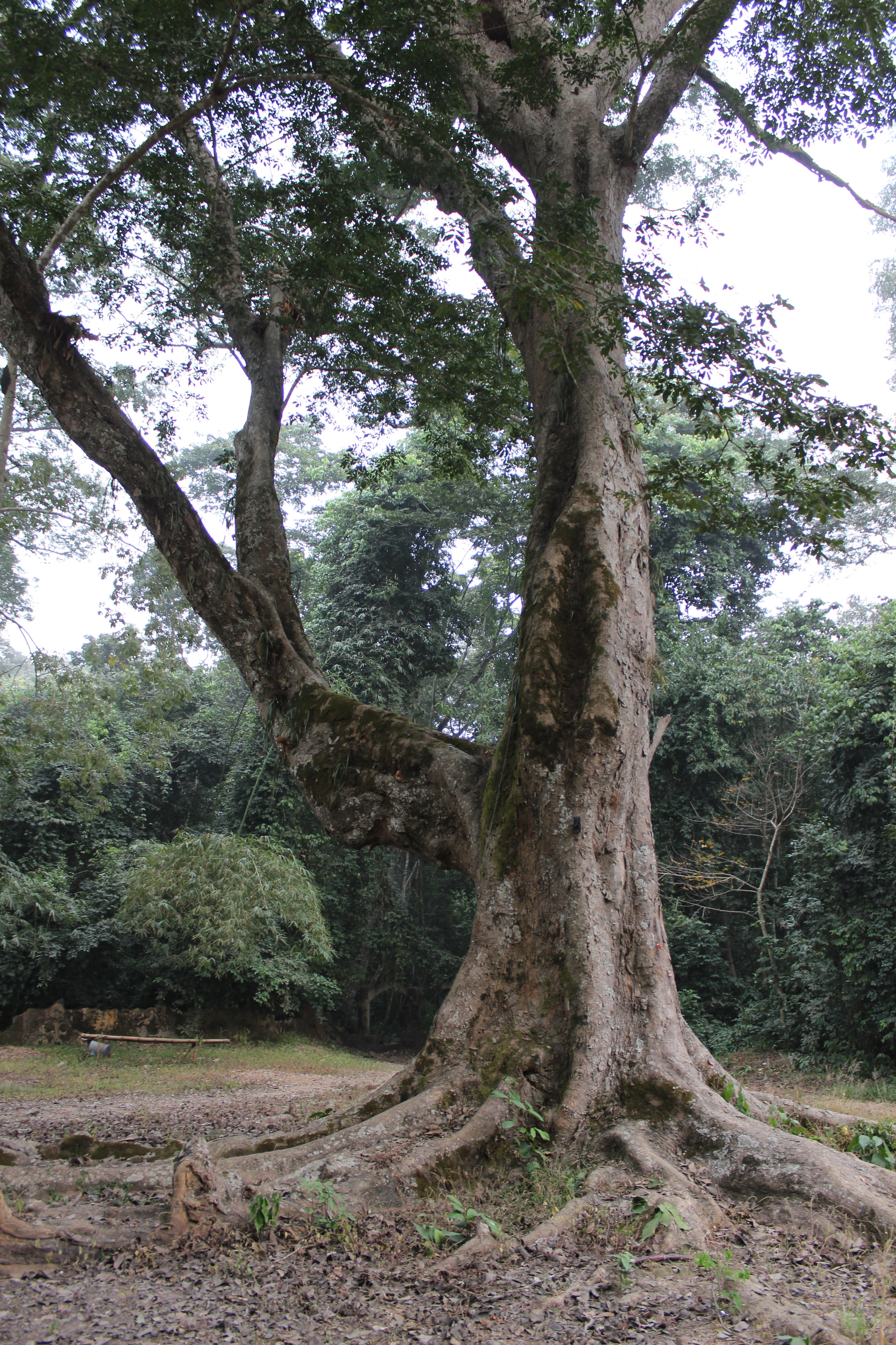 One of the rare olden trees, directly at the entrance to the Ojubo Oshun.