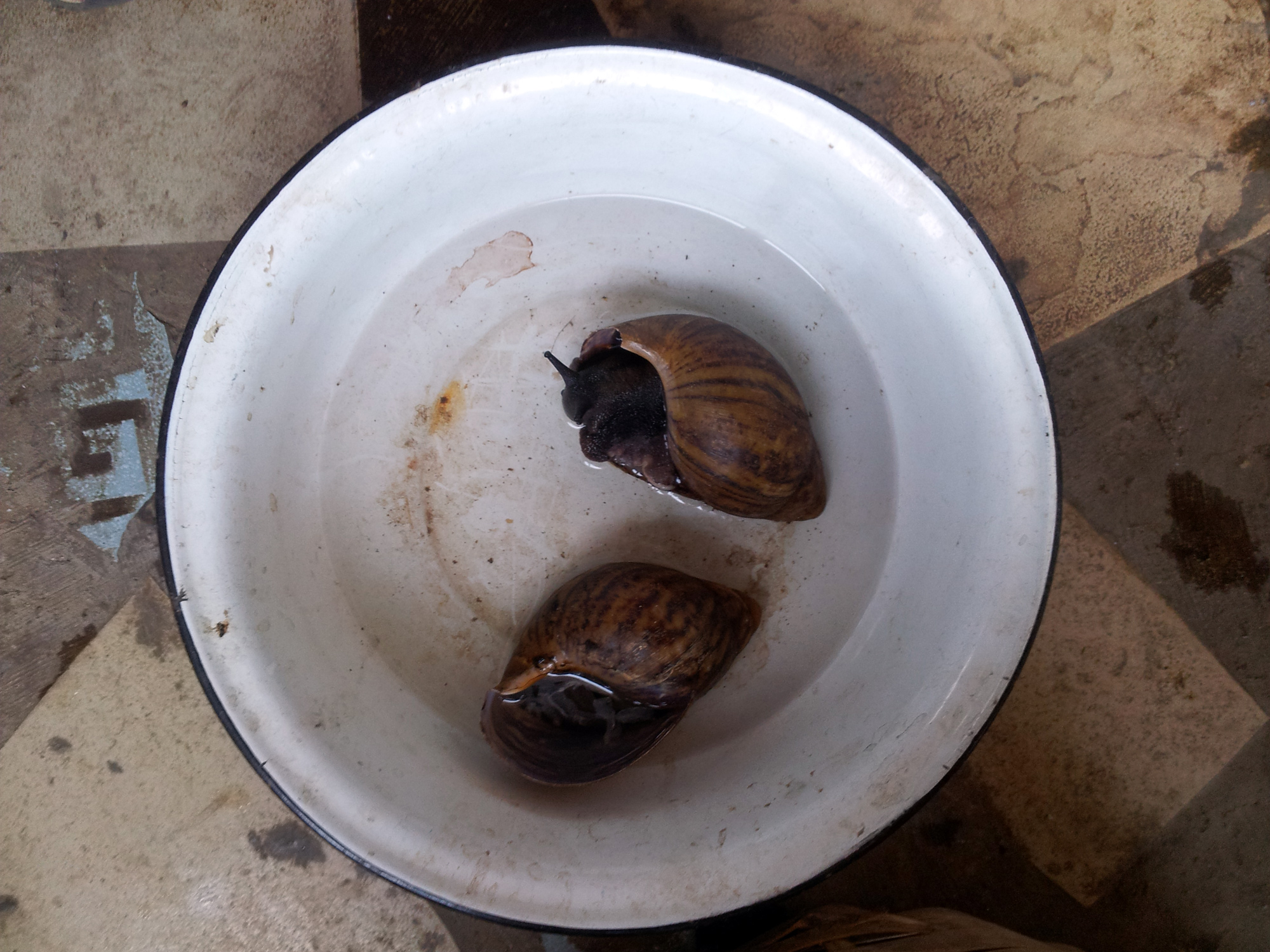 The Yor. ìgbín, snail, is a very common food in Yorùbáland and offered to Orisha like Obatala. ©Orisha Image