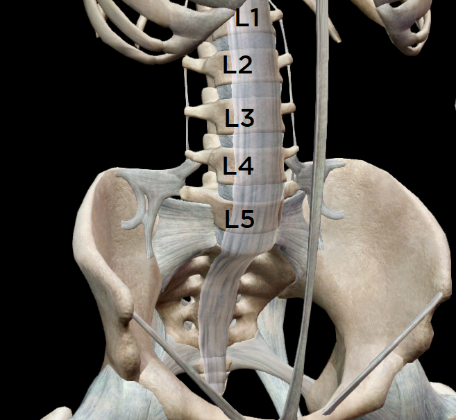 View of the low back & pelvis from the front.