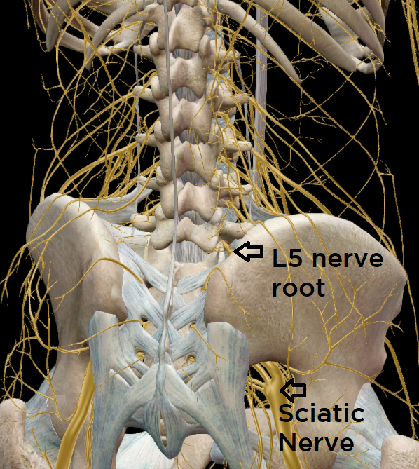 View of the low back & pelvis with nerves from the back.