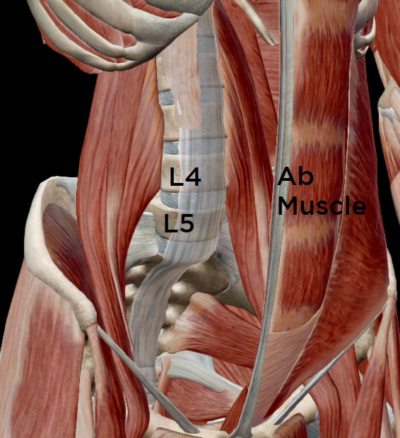 View of the low back & pelvic muscles from the front.