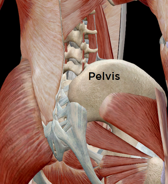 View of the low back & pelvic muscles from the back.